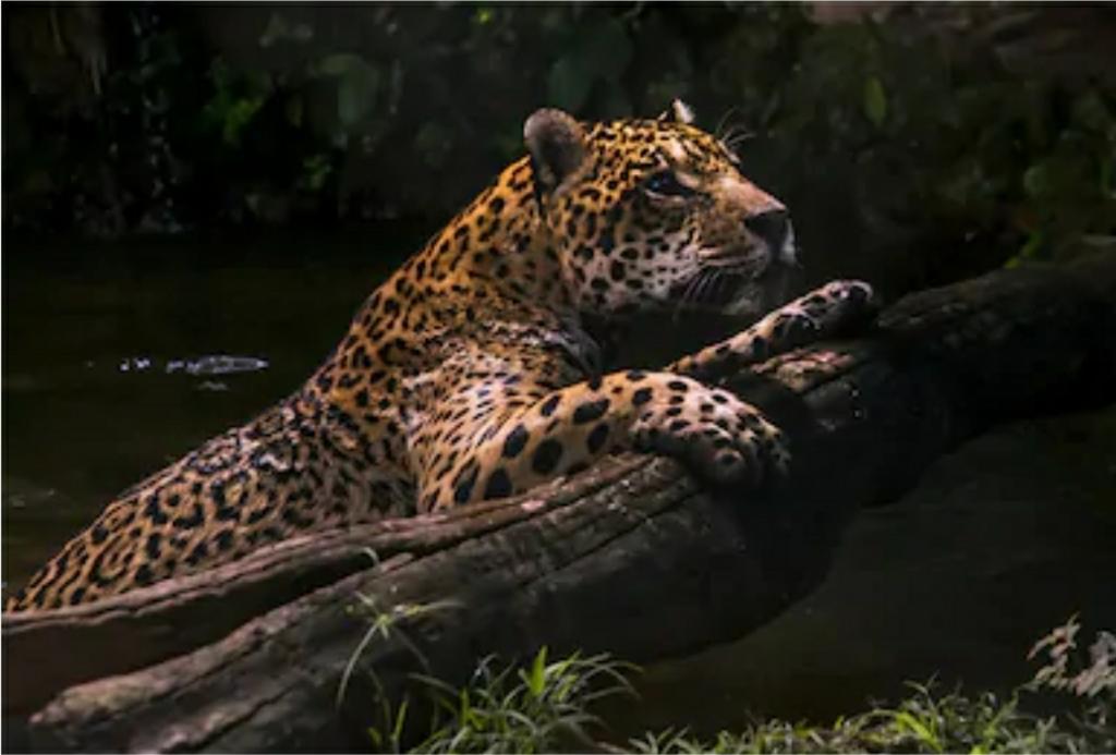 La Red Jaguar